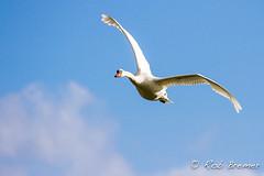 Knobbelzwaan / Mute Swan -1774 (rob.bremer) Tags: bird birds outdoor wildlife dunes aves birdsinflight duinen castricum kennemerduinen muteswan cygnusolor knobbelzwaan infiltratiegebied noordhollandsduinreservaat