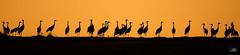 Grues cendrées - Grus grus (Gallocanta, Espagne) 29 décembre 2015 (ÇhяḯṧtÖρнε) Tags: bird montagne canon aragon espagne oiseau gallocanta gruiformes commoncrane grusgrus gruecendrée gruidés gruescendrées gruecendréegrusgrus