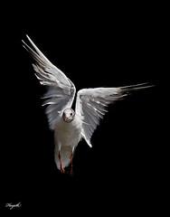 Angel wings! (Hayath) Tags: park bird london angel canon photography wings flight f56 birdinflight 400mm