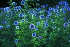 glowing virus (R. Leu - ) Tags: flowers blue plant green olympus f18 45mm omd m43 micro43 mzuiko em5mk2