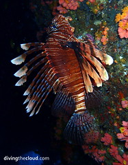 Lionfish - Pez len (divingthecloud) Tags: sea fish pez mar agua diving maldives lionfish buceo maldivas fotosub bajoelagua pezleon