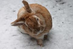 Bunny (Milena Galizzi) Tags: pet brown snow rabbit bunny nature animal sweet ears