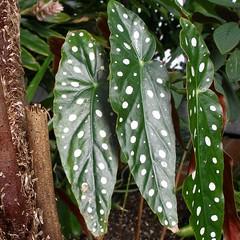 Dotted Green (mystuart) Tags: plants green leaves nc stem conservatory bark biltmore whitedots