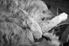 Office Chairs are for Napping (Greg Benic) Tags: blackandwhite bw cat nikon peter d7000 nikoncapturenx2 cnx2