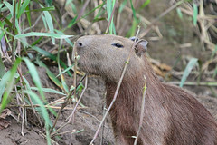 Capybara Peru (Paul Killip - Nature) Tags: peru nature amazon jungle capybara mamal tambopata