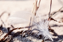 macro of an old feather laying on a beach (Armin Staudt) Tags: old shadow macro bird abandoned beach reed nature stone closeup lost one sand outdoor background feather blurred nobody dirt pebble single weathered algae textured