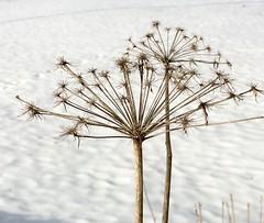 Winter Blooms (Kariga1) Tags: schnee white snow weis