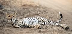 Nervous (Kevin Hughes 348) Tags: africa nature kenya wildlife teeth bigcat cheetah hunter bigcats claws carnivore acinonyxjubatus shaba