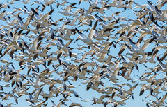 En Masse (m e a n d e r i n g s) Tags: california winter snow geese socal imperial migration saltonsea bif sonnybonosswnr