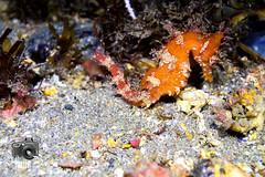 Seahorse (ShaunMYeo) Tags: night diving scubadiving gibraltar calpe underwaterphotography nightdive  gibilterra ikelite campbay      gibraltr  cebelitark gjibraltar ibraltaro hibraltar xibraltar giobrltar gibraltrs gibraltaras ibilt