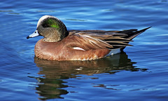 Color Me Pretty (F.emme) Tags: park birds duck pond waterfowl waterbirds americanwigeon wigeon