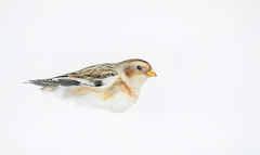 Sneeuwgors / Snowbunting / Bruant des neiges (Gladys Klip) Tags: des sneeuwgors neiges snowbunting bruant bruantdesneiges