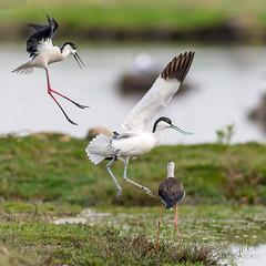 DSH_3017- (alaing40_photos) Tags: oiseaux chasse avocette
