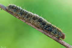 Thaumetopoea pityocampa (FrancisFreire) Tags: macro pino gusano insecto macrofotografia procesionaria thaumetopoea pityocampa
