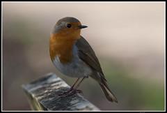 Rougegorge familier (Laurent 333) Tags: oiseau oiseaux rougegorge familier