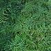 N20160126-0029—Asplenium fragrans—UCBG