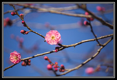 Japanese apricot (mensore) Tags: pink plant flower japanese apricot japaneseapricot