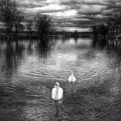 Everyday one shot! Dark sky and white swans. On the river Korana. (malioli) Tags: square squareformat iphoneography instagramapp uploaded:by=instagram