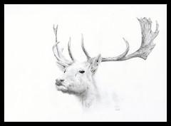 Biay daniel / White fallow deer (Karwik) Tags: white pencil pencils zoo drawing daniel deer fallow bialy owek rysunek biay jelen olowek jele batw baltow