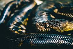 Tight Squeeze (JMJ Cinematics) Tags: nature animal animals reptile snake wildlife culebra anaconda bronxzoo predator snakes reptiles constrictor natgeo jmjcinematics josemiranda