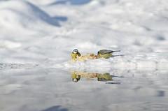 Birds (sylvette.T) Tags: blue winter white snow cold nature water birds yellow reflections eau hiver neige reflets oiseaux 2016 bluetits sigma120300 nikond5100