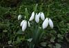 sign of spring (3OPAHA) Tags: white green canon snowdrops schneeglöckchen signofspring frühlingsbote