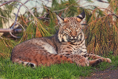 Dozing Off (Cruzin Canines Photography) Tags: california trees sleeping portrait cute nature grass animal animals closeup canon outside mammal outdoors zoo daylight feline sleep naturallight calm telephoto wildanimal daytime bobcat tamron bakersfield naturepreserve californialivingmuseum 5ds canon5ds eos5ds tamronsp150600mmf563divcusd canoneos5ds