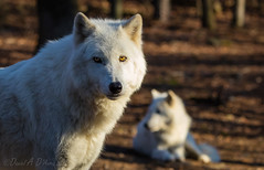Chili Dogs  3493 (Dr DAD (Daniel A D'Auria MD)) Tags: dogs nature newjersey wolf wildlife canine arctic carnivores naturephotography greywolf carnivora canid wildlifephotography arcticwolf drdadbookscom drdadbooks danieladauriamd childrenswildlifebooksbydanieladauriamd december2015 lakodawolfpreserve