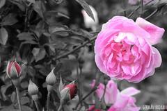 Rosa (Geba22) Tags: flowers blackandwhite naturaleza flower color byn nature outdoors uruguay outdoor flor jardin rosa botanico prado montevideo barrio selectivo