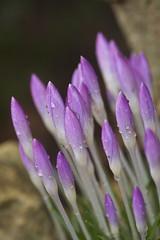 After The Rain (deckelsmouk_11) Tags: flowers flower macro waterdrop purple crocus waterdrops