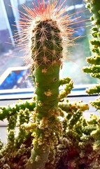 2016 Cactus Graft i.d Needed For Top One (Columbiantony Photography) Tags: uk cactus england cacti leeds science tony scion grafting graft grafts scions cactusgrafts gartshore tonygartshore cactusgrafting graftingcacti
