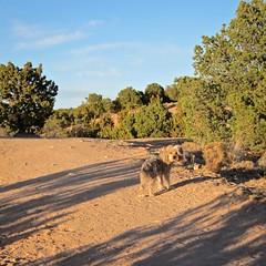 Sumo @ Dog Park (suenosdeuomi) Tags: newmexico santafe sumo dogpark canons90