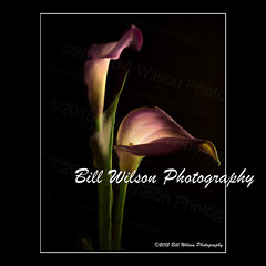 Calla Lilies Purple PhotoArt (wildlifephotonj) Tags: flowers calla fineart callalily fineartphotography naturephotography callalilies callalillies naturephotos flowerphotos fineartphotographs fineartprints flowerprints natureprints