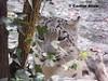 wild eyes (pinkystar_84) Tags: wild green animals lumix zoo eyes flickr panasonic felini mammals carnivoro mammifero selvaggio ghepardodellenevi snowleopaard