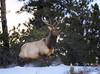 Morning Run (Happy Photographer) Tags: winter snow wildlife run rmnp elk rockymountainnationalpark amyhudechek