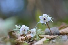 little flowers (snowshoe hare*) Tags: flowers flower spring kyoto dof  botanicalgarden signofspring kyotobotanicalgardens eranthis  dsc0758   shibateranthispinnatifidamaxim