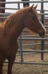 (nevada4949) Tags: portrait blm ridgecrest wildhorse