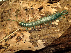 Blue Tiger Centipede Scolopendra polymorpha 'Blue' (bugldy99) Tags: arachnid centipede myriapod myriapoda scolopendra chilopoda
