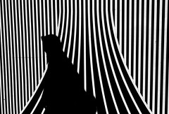Struggle and stripe (RoryO'Bryen) Tags: struggle stripe roryobryen copyrightroryobryen leicam leicamp selfdeveloped kodaktrix rodinal street streetphotography cambridge leicasummiluxm50f14asph