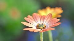Always light up my day.. (Big sis 4C) Tags: daisy february mygarden africandaisy osteospermum 2016 capedaisy