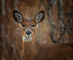 I Am Alive (kathybaca) Tags: ocean sunset newyork nature beautiful animal mammal earth wildlife doe deer creature herd whitetail hoofed