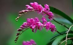 Orchids 1 (orientalizing) Tags: desktop flowers plants peru southamerica orchids lush featured moyobamba waqankiorchidcenter