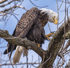 Eagle (Jan Crites) Tags: nature outdoors eagle iowa raptor mississippiriver americanbaldeagle leclaire lockanddam14 jancritesphotography