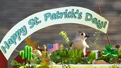 Happy St. Patrick's Day! Tufted titmouse. (Mayte Moya) Tags: portrait usa naturaleza cute bird nature animal us unitedstates florida wildlife eu aves ave fl animalia pjaro orlandofl eeuu airelibre 2016 passeriformes chordata greatnature neornithes paridae happystpatricksday neoaves neognathae
