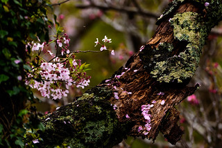 Cherry trees began to fall off #1