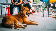 Dog (drumbunkerdragon) Tags: dog cute woof tongue out furry wolf colorful sitting looking fuzzy lol sony adorable canine ii resting majestic pulau ubin fursona rx1r
