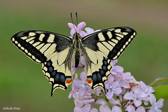 Papilio machaon (alfvet) Tags: farfalle macro butterflies natura colorsofnature colori insetti primavera parcodelticino nikon d5200 sigma150 nature platinumheartaward ngc npc