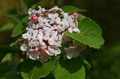 Schneeball, koreanischer / Korean spice viburnum (Viburnum carlesii)