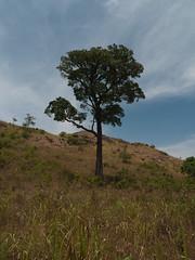 Lone tree (Jackie & Dennis) Tags: india wayanad rwh kalpetta bansura ramblersworldwideholidays kuttiyamvayall spicesplantationshillstations banasuraislandretreat