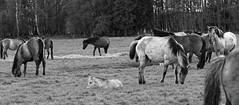 Wild Horses in black-and-white - Foal - 2016-009_Web (berni.radke) Tags: horse pony herd nordrheinwestfalen colt wildhorses foal fohlen croy herde dlmen feralhorses wildpferdebahn merfelderbruch merfeld przewalskipferd wildpferde dlmenerwildpferd equusferus dlmenerpferd dlmenpony herzogvoncroy wildhorsetrack